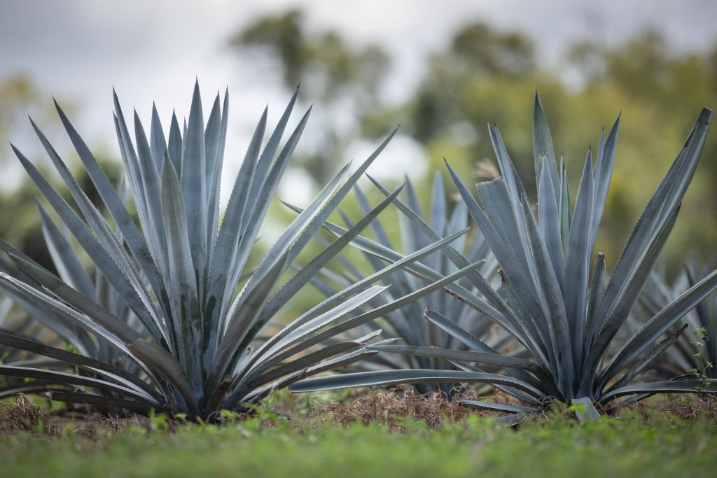 The agave plant in north Queensland