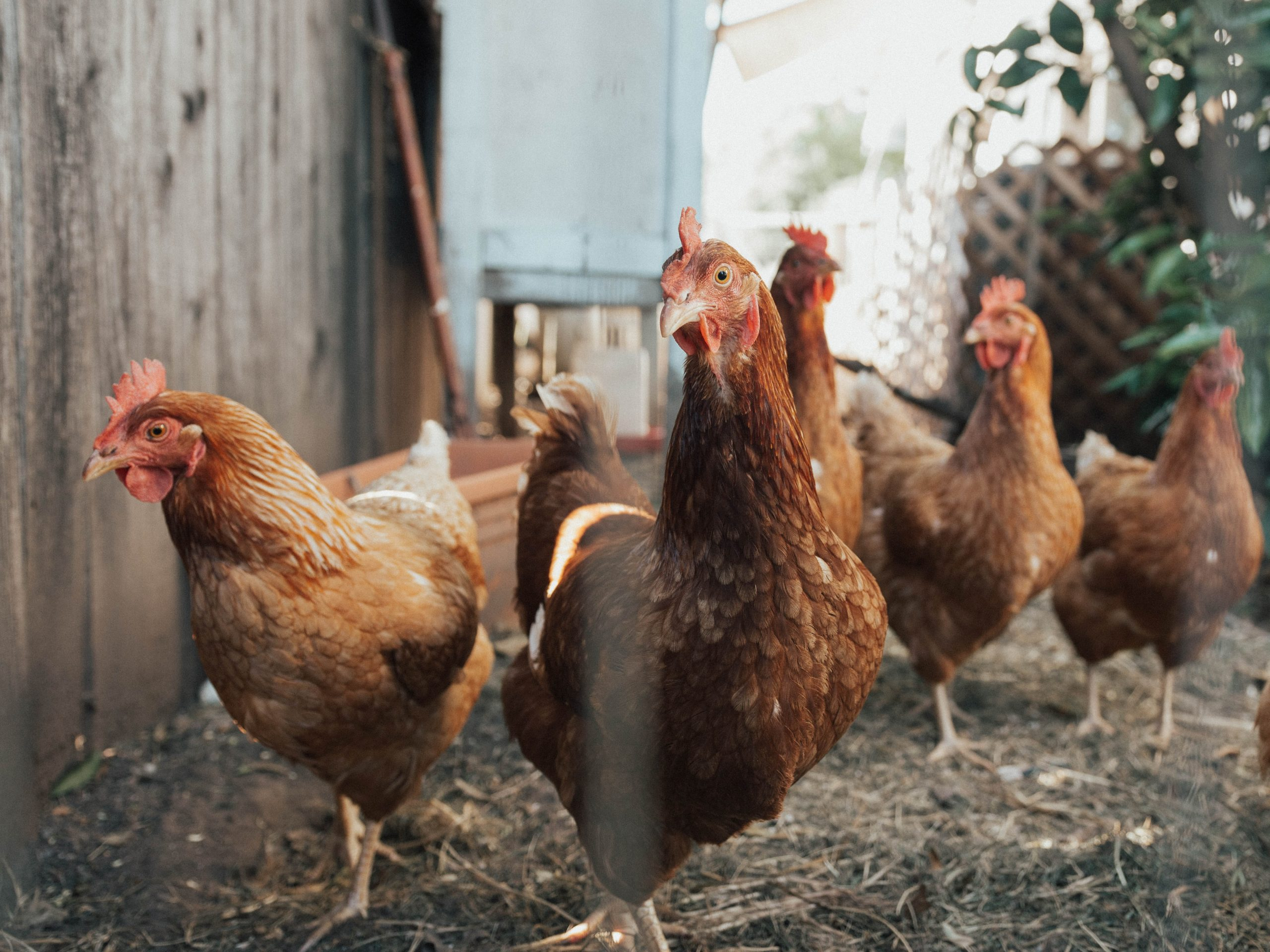 Free chickens are being given to vaccinated residents in one Indonesian village.